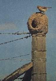 """El hombre de campo lo relaciona con la lluvia y la humedad: -Al serle menester el barro para su nido, la sequía huye de él y se mantiene alejada (algo positivo para el campo y la siembra). -Si el hornero canta con energía durante un temporal, significa que la lluvia pronto va a parar. -Si hace su nido en el techo de una morada, la felicidad acunará a sus habitantes, pues, como dice el refrán: """"En casa con nido de hornero no caen rayos""""."""