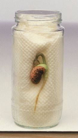 Growing seeds in jar with inch of water and paper towel