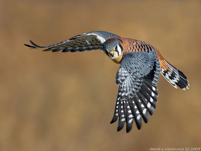 American Kestrel - it took me a while to ID this guy, but I'm pretty sure I've seen one! Slight chance that it was a Merlin.