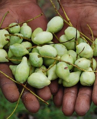 http://www.fruitipedia.com/kakadu_plum%20Terminalia%20ferdinandiana.htm  Kakadu plum or murunga. Possibly richest natural source of vit C. high Vit C. Quick energy and refreshment boost. Not a staple food. Medicinal.
