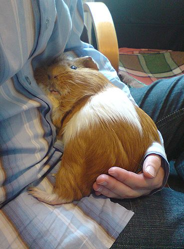 Sweet guinea pig having a cuddle.