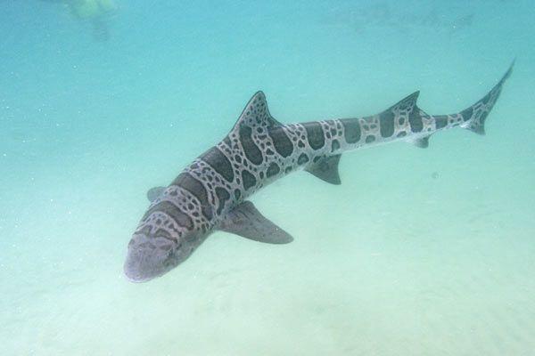 Leopard Shark - Bing Images
