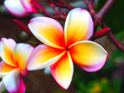 Pink Yellow And White Tropical Flower