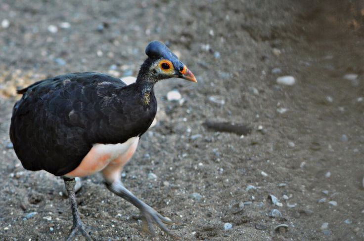 Maleo bird of Sulawesi - Luwuk - Indonesia