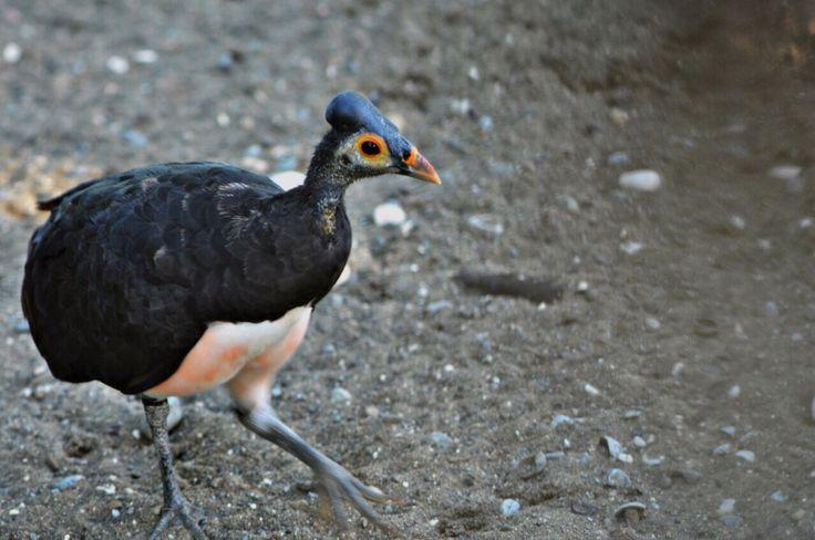 Maleo bird of Sulawesi - Luwuk - Indonesia