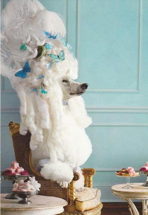 French poodle - should we hire one for the corner!!!
