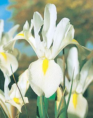 Iris Hollandica 'White Wedgewood' - Dutch Iris www.vanbloem.com #vanbloemgardens #flowerbulbs #iris