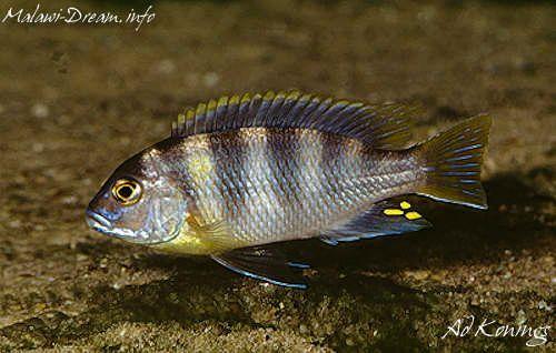 194 best lake malawi mbuna images on pinterest