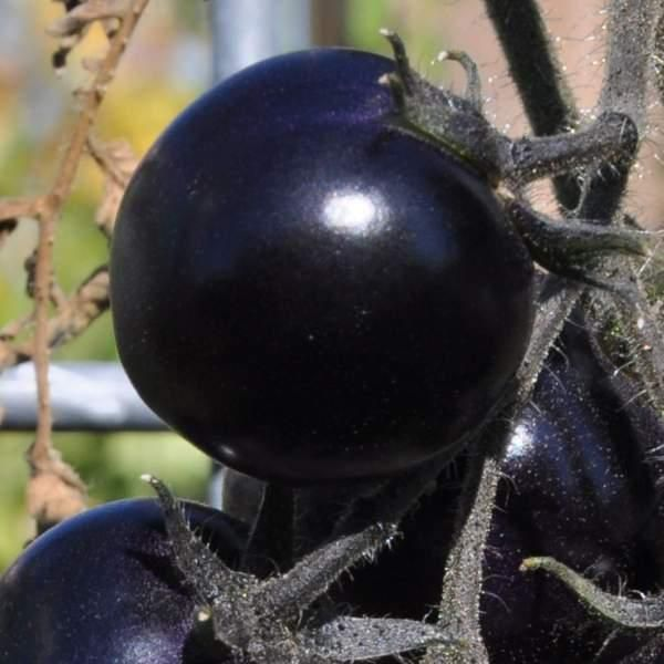 Tomat \'Indigo Rose'<br><i>Lycopersicon esculentum</i>