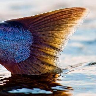 Salmon Fiskumfoss, Namsen, Norway https://www.inatur.no/laksefiske/517652fee4b0f08b45aad050/laksefiske-i-fiskumfoss-fra-10-juni-til-7-juli | Inatur.no