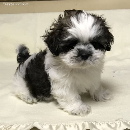 Dog Breed That Looks Like A Rug: 2738 Best Shi Tzu Puppies Images On Pinterest