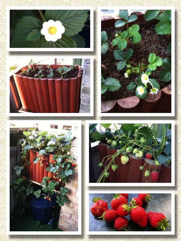 Jordbær sæson