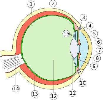 1. Lederhaut (Sclera) 2. Aderhaut (Chorioidea) 3. Schlemm-Kanal (Sinus venosus sclerae/Plexus venosus sclerae) 4. Iriswurzel (Radix iridis) 5. Hornhaut (Cornea) 6. Regenbogenhaut (Iris) 7. Pupille (Pupilla) 8. vordere Augenkammer (Camera anterior bulbi) 9. hintere Augenkammer (Camera posterior bulbi) 10. Ziliarkörper (Corpus ciliare) 11. Linse (Lens) 12. Glaskörper (Corpus vitreum) 13. Netzhaut (Retina) 14. Sehnerv (Nervus opticus) 15. Zonulafasern (Fibrae zonulares)