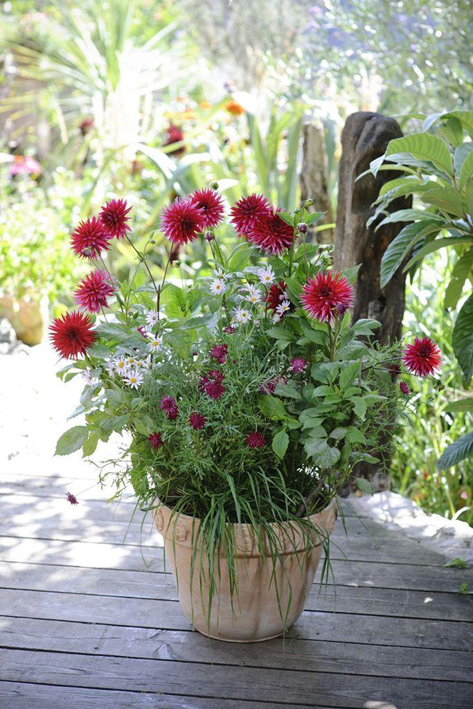 17 best images about late summer pots on samba purple and lavandula angustifolia