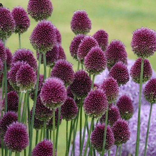 Allium Sphaerocephalon Klotl 246 K Sol Allium