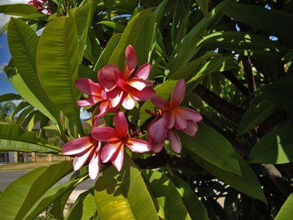 wonderful colour of Frangipani