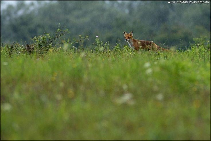 vadászó vörös róka