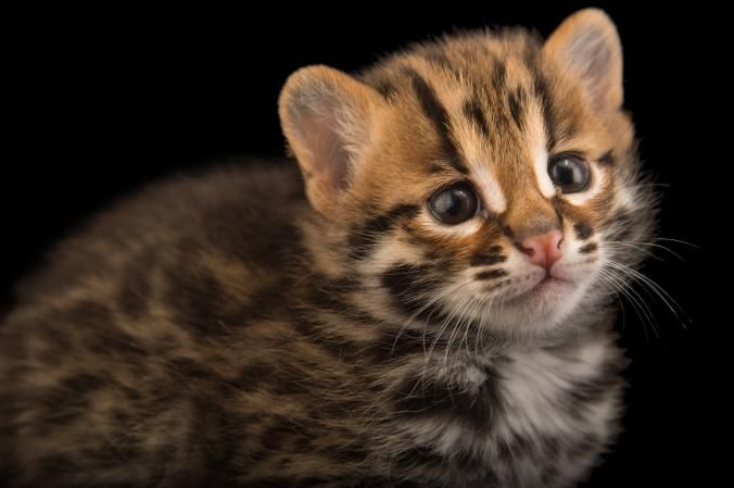 A 4 Week Old Leopard World Cat Day Cats Cats Of Instagram