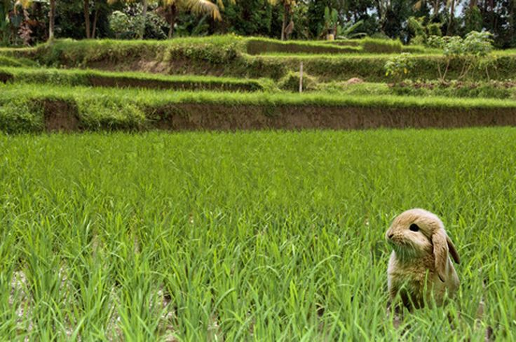 Easter bunny in the rice fields of Bali