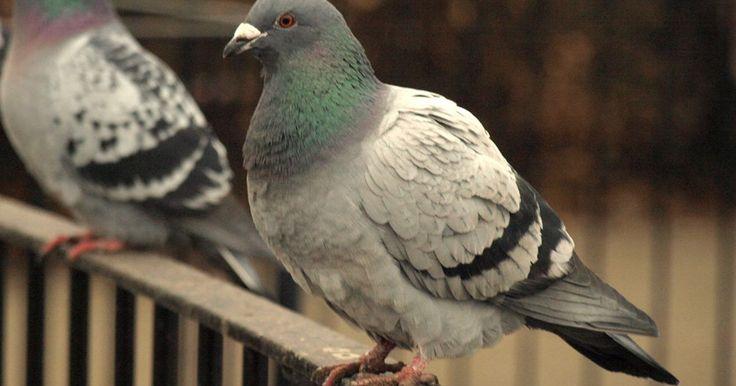 Es probable que necesites una combinación de trucos, y probablemente incluso una sucesión de ellos, para deshacerte de las palomas en tu casa. Estos animales son muy persistentes. ...