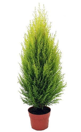 """Lemon Scented Goldcrest Cypress Tree (Cupressus macrocarpa """"""""Gold Crest"""""""") makes an excellent indoor or outdoor tree. It is hardy in zones 7-9 or grow indoors in a cool and sunny window. Keep the tree"""