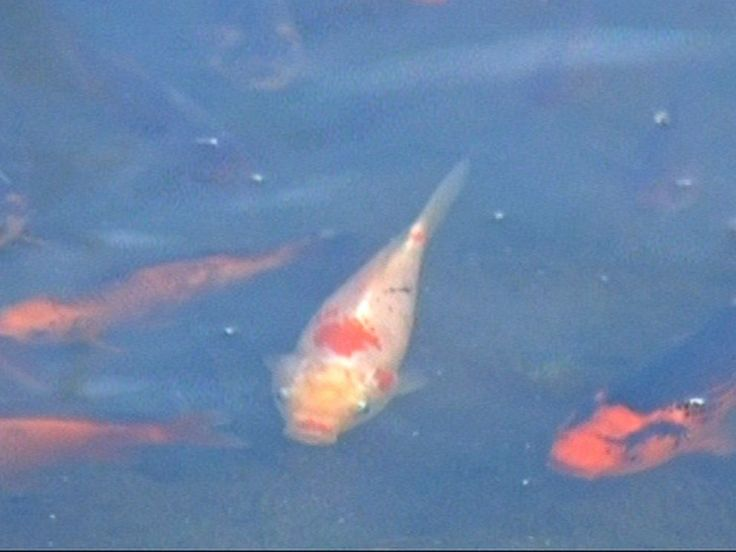 PHOTO: Wildlife officials say an invasive goldfish species that was dumped in Teller Lake #5 in Boulder, Colo. has multiplied and is threatening the lakes natural aquatic ecosystem.