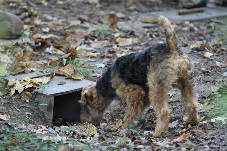 10 Things To Know About Welsh Terriers Welsh Terrier Terrier Dinmont Terrier