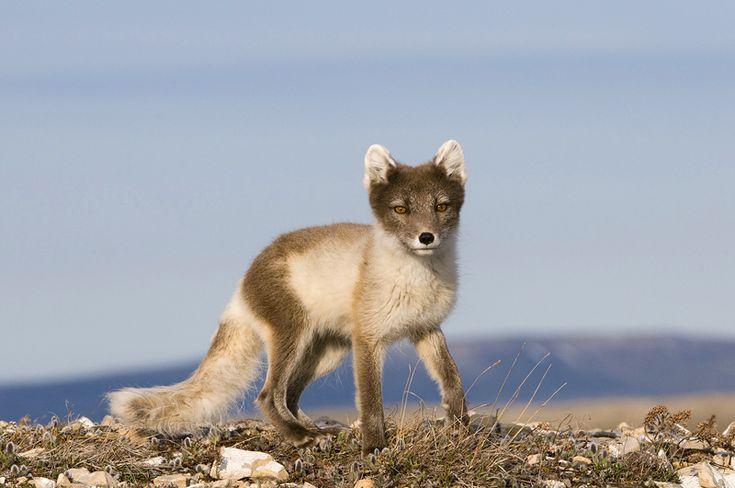 Alopex lagopus / Poolvos / Arctic Fox