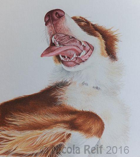 A very happy Border Collie. Photo Reference Aubrey Hoffman, Photos for artists.  Pastel Pencil on Derwent Paper. Pet portrait
