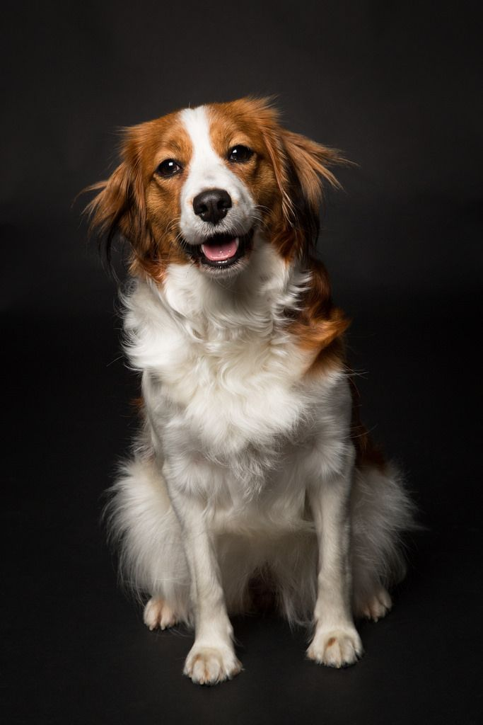 April 2014 #Kooikerhondje #Kooiker | Flickr - Photo Sharing!