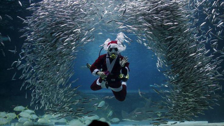 AQUATIQUE. Un plongeur, habillé en Père Noël, nage au milieu des poissons dans l'aquarium Coex de Séoul, en Corée du Sud, ce mercredi 9 décembre. Chaque année, c'est la tradition : durant la période des fêtes de fin d'année, le père Noël troque son traîneau pour aller nourrir des sardines et ce, pour le plus grand bonheur du public et surtout, pour le plaisir des plus jeunes.