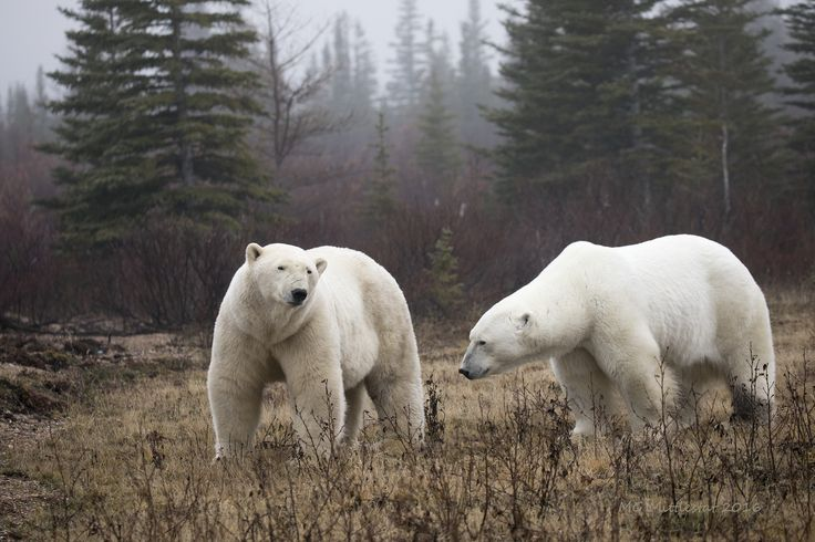 https://flic.kr/p/Pt1EuT | Polar bears | A couple big boys hanging out together, waiting for the Bay to freeze over.