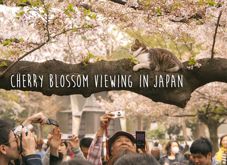 Best places to view cherry blossoms in Japan (Tokyo, Kyoto & Hiroshima) Head to Ueno Park to see cats sitting amongst the cherry blossom trees