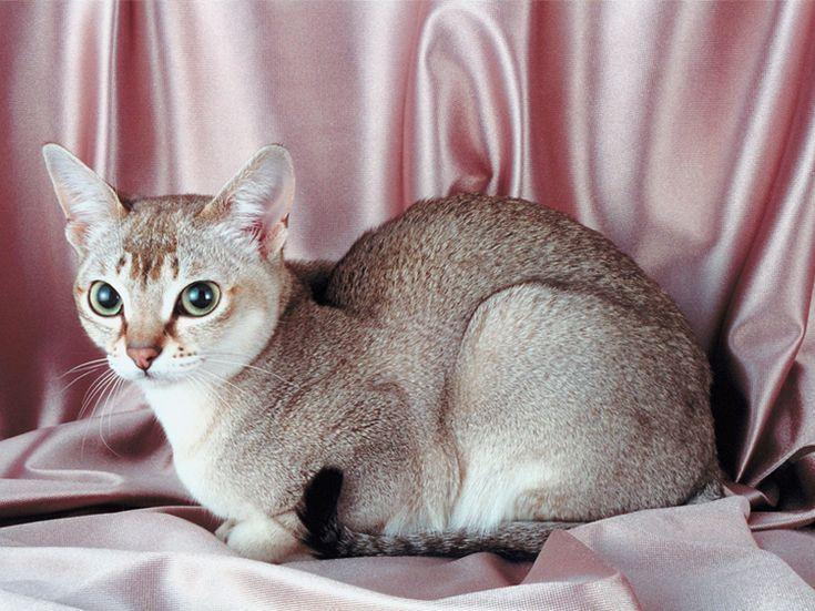 kleinste katzenrasse