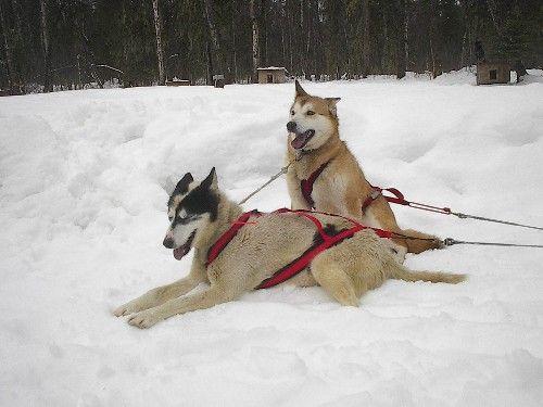 https://en.wikipedia.org/wiki/Alaskan_Husky