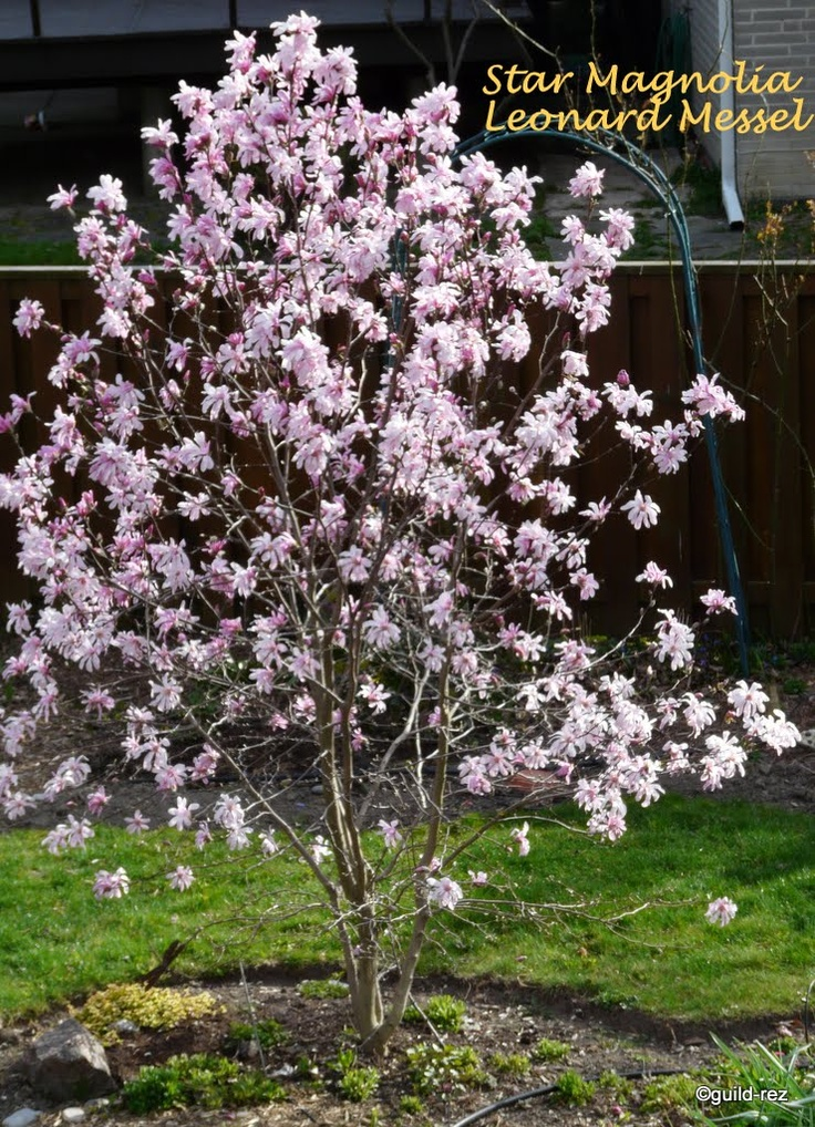 magnolia 'leonard messel' Vorstbestendig, 3 meter hoog.