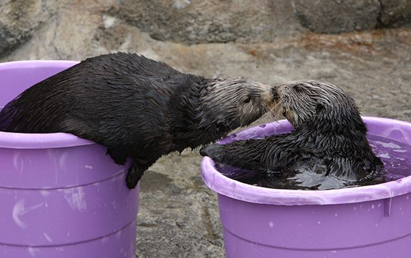 Sea otter leans out of her bucket to smooch her friend - March 14, 2015