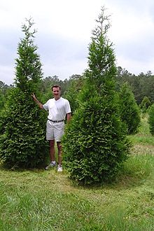 """Thuja """"Green Giant"""" Arborvitae The Green Giant is an excellent option for a natural border and living fence. Its growth pattern is similar to the Leyland Cypress with a comparable fast growth rate of 3 or more feet per year. They provide a dense barrier with a softer and slightly narrower than Leyland Cypress pyramidal look. Additionally, they are virtually immune to some of the diseases that can affect the Leyland Cypress so are in high demand."""