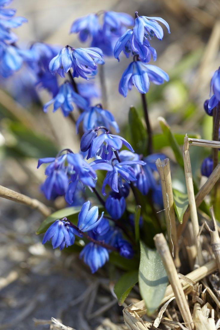 Scilla siberica - Das schönste Blau an Frühlingstagen • Blumen & Pflanzen Blog • 99Roots.com