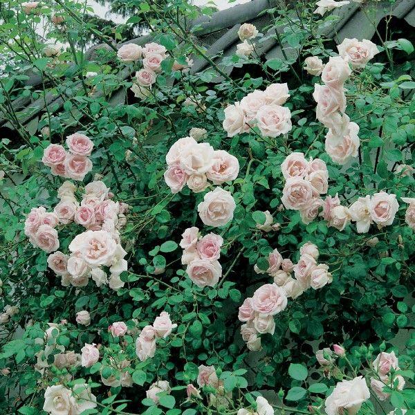 Les 25 meilleures id es de la cat gorie plante grimpante ombre sur pinterest treillis de vigne - Support pour rosier grimpant ...
