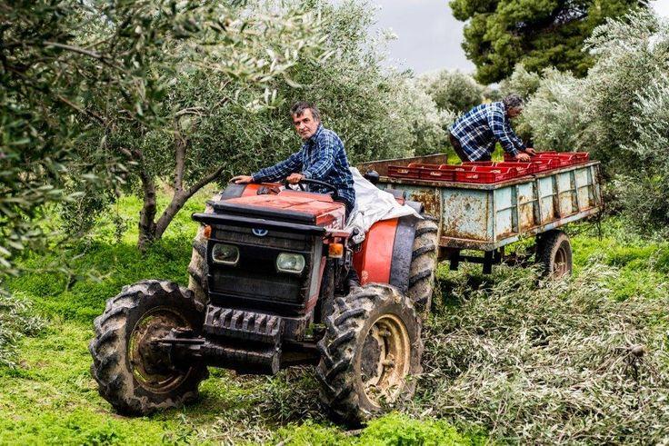 Α day in the olive grove