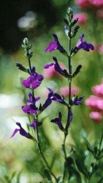 Salvia coahuilensis; 2' x 2'.
