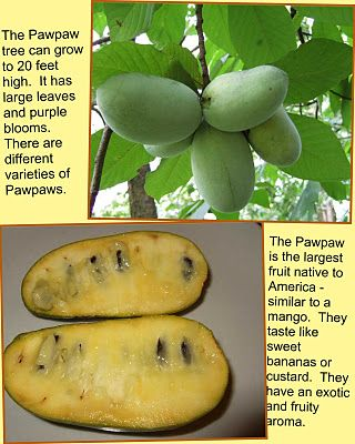 Pawpaw fruit...something I've never heard of that apparently grows naturally in my home state of AL & on my college campus's arboretum! Extremely nutritious & easy for organic. MUST TRY!
