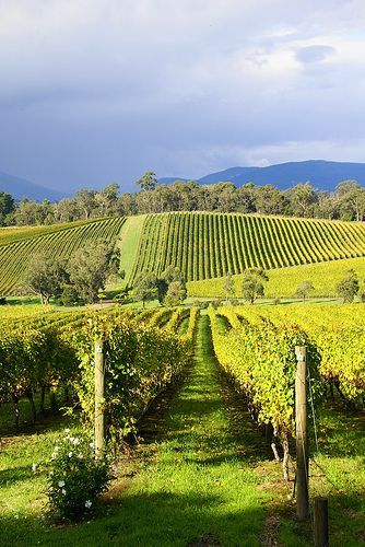 Killara Estate Vineyard, Yarra Valley, Melbourne, Australia