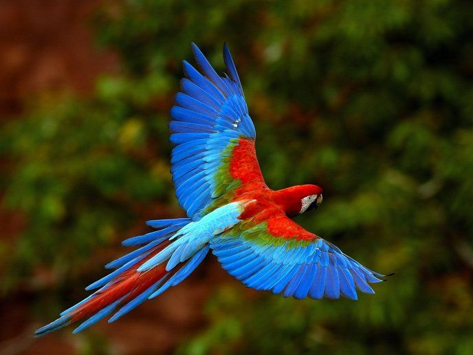 Colored parrot flying over the nature HD wallpaper - Download High Resolution Wallpaper