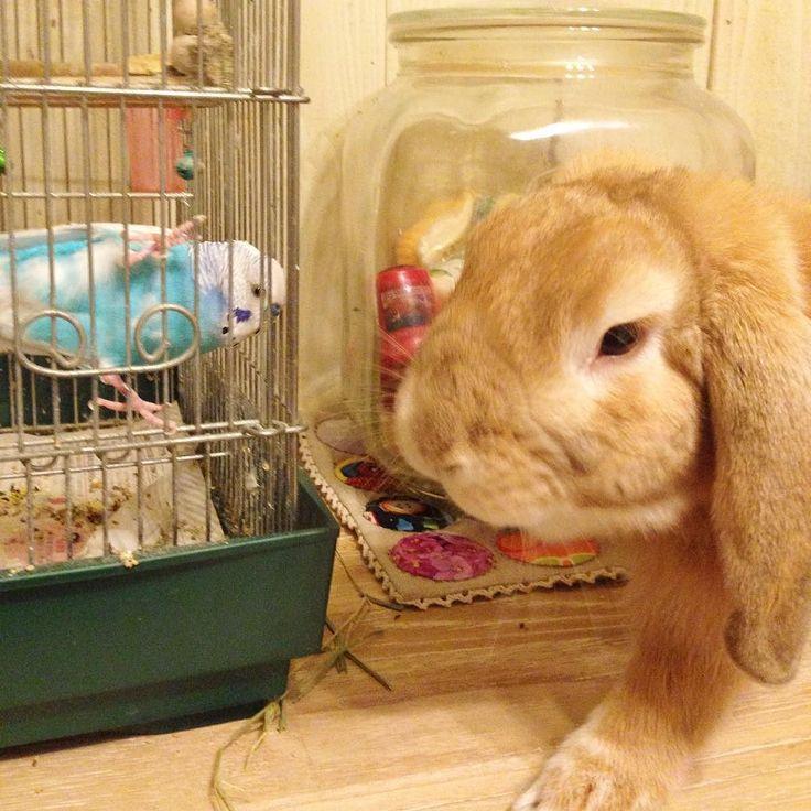 おはようございまぷ 今日は寒いのあっかたいの 春なの冬なの 暦ではオフィシャル春ですね  It's not that cold but it's not warm.  Is it spring yet? It's very much like in between.  Happy Vernal Equinox Day 2016. .  #rabbit #rabbits #rabbitsgram #rabbitsofig #rabbitstagram #rabbitsofinstagram #rabbitsworldwide #cute #minilop #bunny #bunnygram #bunnylife #bunnystagram #petbunny #hollandlop #houserabbit #hollandlopbunny #hollandlopsofinstagram #parakeet #budgerigar #うさぎ  #たれみみ  #インコ #セキセイインコ #ふわもこ部 by kaorimaybelle