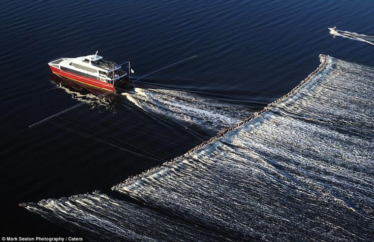 a new Guinness Record, 145 skiers pulled behind one boat...3,000 horsepower.  crazy!