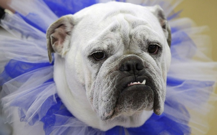 Lilli, owned by Wendi French, of West Des Moines, Iowa, looks on during the 33rd annual Drake Relays Beautiful Bulldog Contest in Des Moines, Iowa  Picture: AP Photo/Charlie Neibergall