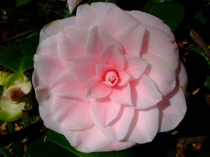 https://flic.kr/p/22tP3cC | Camellia | www.youtube.com/user/yewmchan/videos