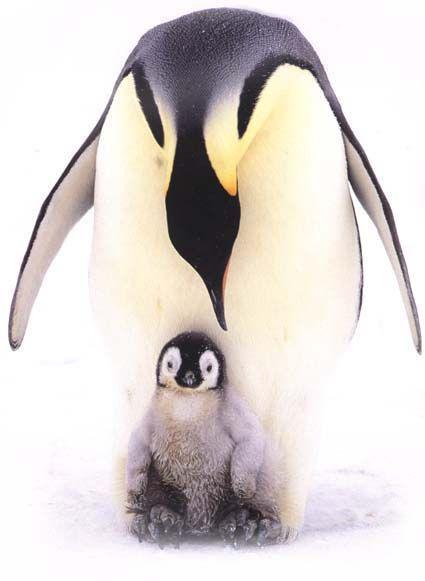 Foulard En Cachemire - Paire De Pingouin (set) De -male Par Vida Vida z4nj7r